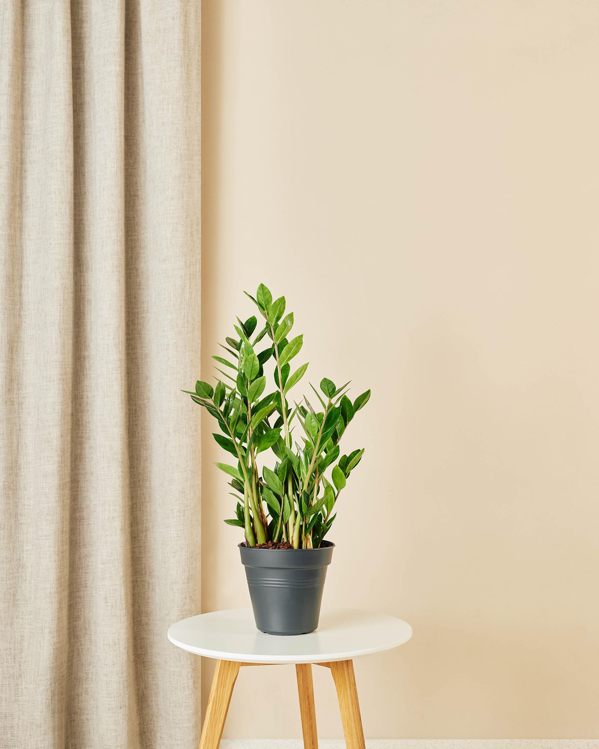 ZZ Plant Zamioculcas